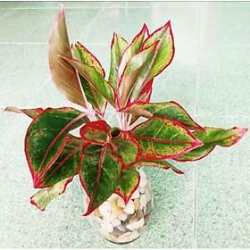 Cây phú quý lá viền đỏ