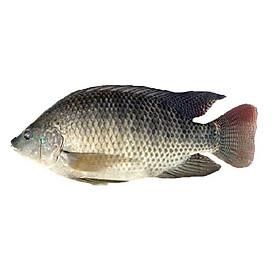 [Chỉ Giao HN] - Cá rô phi nguyên con (1.3kg)