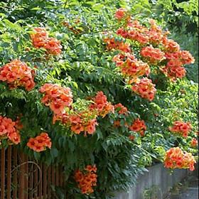 Cây Hoa Đăng Tiêu