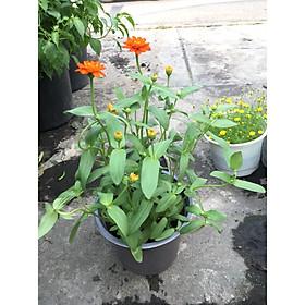 Cây Hoa Cúc Trang Trí MS1