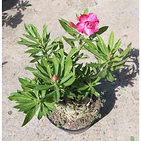 Cây sứ Thái gốc to đang có hoa và nụ ST14