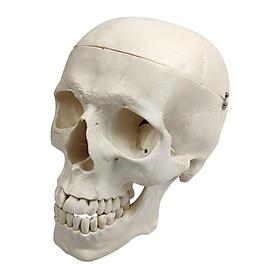 1:1 Plastic Skull Head Model Simulation Skeleton Head Medical Skull Art Copy for Halloween Decor