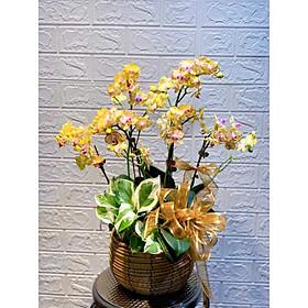Chậu hoa Lan Hồ Điệp Đà Lạt - Mẫu 27 - Đường kính chậu 20 x cao 50 cm - Mầu Vàng Đỏ - Chậu hoa, cây cảnh tặng khai trương, tân gia