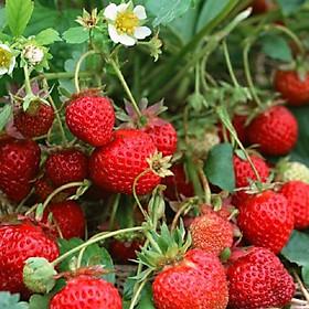 Hạt giống Dâu tây đỏ F1 nảy mầm cao Titapha