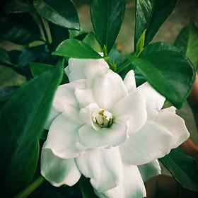 Cây Lài Tiểu Thơ (hương thơm ngọt ngào)