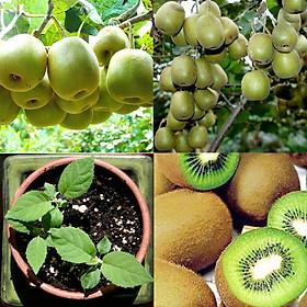 Bộ 1 gói hạt giống Kiwi.
