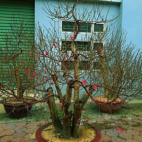 Cây hoa Đào Tết mẫu số 003