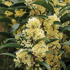Cây mộc hương trưởng thành cho hoa thơm say đăm lòng người
