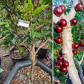 Cây Nho thân gỗ 12 vụ ra trái quanh năm cao 30cm (ảnh thât- Giống nho Vip nhất trong các dòng nho thân gỗ)