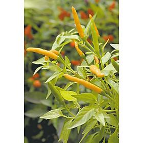 10 hạt giống ớt Thái vàng trái dài