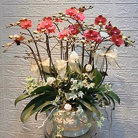 Chậu hoa Lan Hồ Điệp Đà Lạt - Mẫu 35 - Đường kính chậu 30 x cao 70 cm - Mầu Đỏ - Chậu hoa, cây cảnh tặng khai trương, tân gia