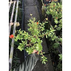 Chậu cây hoa Sam Thái giống mới lạ cho khách sưu tầm