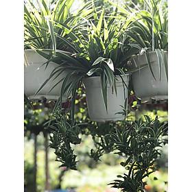 Cây cỏ nhện chậu treo vườn xanh