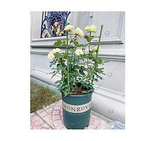 COMBO 2 KHUNG HOA LEO TRÒN XẾP GỌN - KHUNG TRỒNG CÂY GIÁ ĐỠ - Hàng chính hãng Nhật Bản - Dùng làm khung giá đỡ cho cây hoa leo, hoa hồng leo