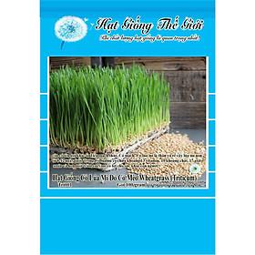 100g Hạt Giống Cỏ Lúa Mì Đỏ Cỏ Mèo Wheatgrass (Triticum aestivum)