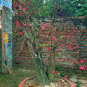 Cây hoa Đào Tết mẫu số 006