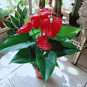 Cây Hồng Môn để bàn, cây trồng chậu sứ phối tiểu cảnh đẹp (còn gọi là Vĩ hoa tròn)