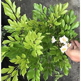Chậu cay Nguyệt Quế lá to hoa to cao 70 - 90 cm