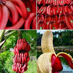 Cây chuối đỏ Dacca nuôi cấy mô