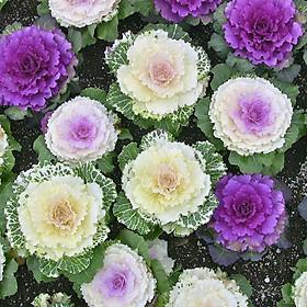 02 gói Hạt giống Hoa Bắp Cải Mix - Bắp Cải Cảnh nhiều màu VTP87