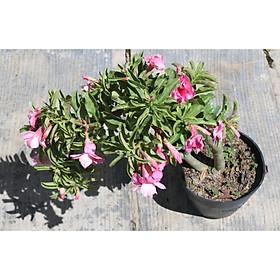 Cây hoa sứ Kỳ Duyên đang có hoa và nụ