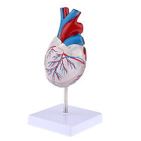 Human Anatomy Model, Lab Learning Teaching Resources - Human Heart Anatomical Model, Life Size, Clear