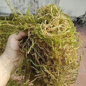 Rêu Rừng Giá Thể Trồng Lan