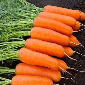 Bộ 1 gói hạt giống carot chịu nhiệt