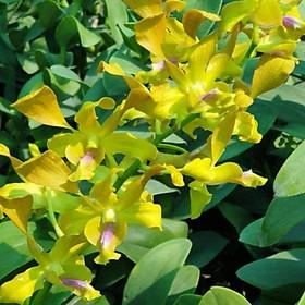 Hoa lan Denro nắng Hoàng long