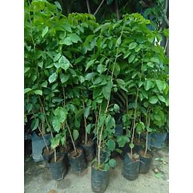 Cây giáng hương - chiều cao khoảng 1m