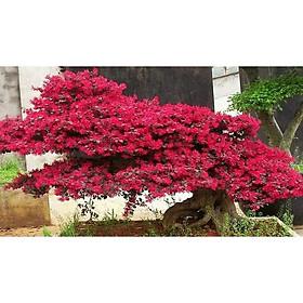 Cây hồng phụng, cây kiểng đẹp, lạ - cây cảnh quan, sân vườn - Loropetalum chinense
