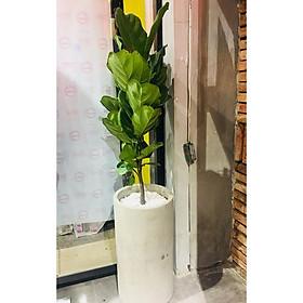 Cây bàng singapore chậu xi măng
