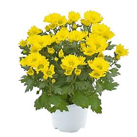 Hoa Cúc Vàng Mẫu 2