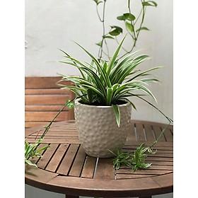 Cây để bàn cỏ nhện
