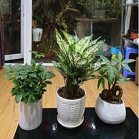 Combo 3 cây Ngũ Gia Bì, Ngọc Ngân, Kim Ngân Xuắn