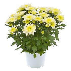Hoa Cúc Vàng Mẫu 1