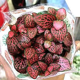 Cây cẩm nhung Fittonia, lá may mắn nhiều màu đẹp - D8 x R8 x C 10 cm - Sẵn chậu nhựa kèm theo