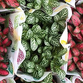 Cây cẩm nhung xanh-đỏ-cây lá may mắn