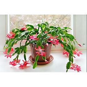 Chậu cây lan càng cua - lan nhật quỳnh - cây để bàn cho hoa rũ - Zygocactus truncates