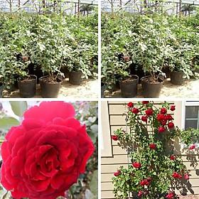 hoa hồng leo cổ hải phòng cây hoa hồng leo có màu đỏ nhung leo dàn khỏe cây có bầu rễ khỏe mạnh nhanh ra hoa