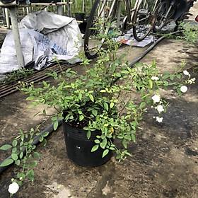 Chậu cây hoa Hồng Bạch Trà - loài hoa bông chùm rất thơm, siêng hoa và dễ chăm