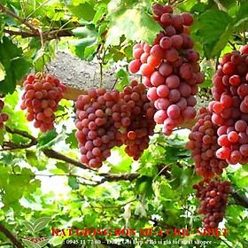 Hạt giống Nho pháp (10 hạt) Hạt Giống Nho Pháp Bốn Mùa10 Hạt/ Gói  Nho Lùn Pháp (tặng gói kích nẩy mầm và hướng dẫn)