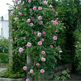 Cây hoa hồng Mon Coeur - hoa cánh cúp màu hồng có hương thơm mạnh