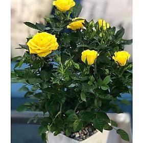 Cây để bàn  hoa hồng vàng