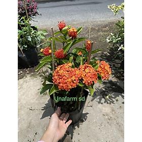 Cây trang tàu (hoa màu cam)