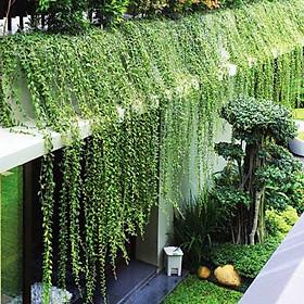 Bộ 10 cây Cúc Tần Ấn Độ - Cây trồng hàng rào, cây leo trồng ban công chống nóng