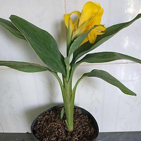 Cây chuối hoa thái (thân lùn)