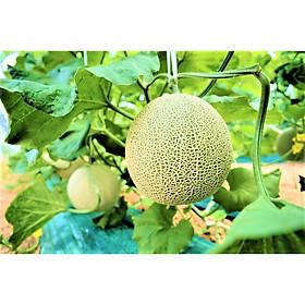 1 gam hạt giống Dưa Lê Nagoya