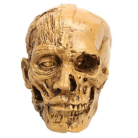 Human Anatomical Anatomy Skull Head Muscle Bone Male l Model