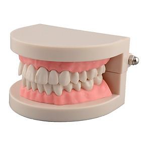 Mô Hình 2 Hàm Răng Dạy Bé Đánh Răng
